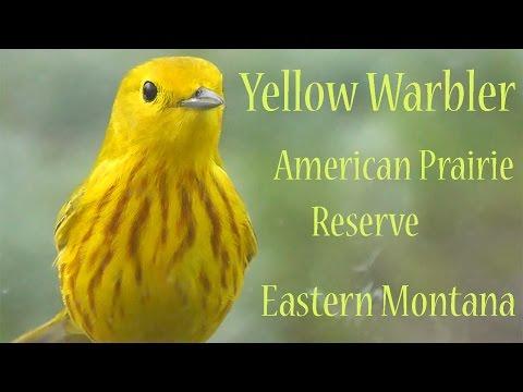 American Yellow Warbler (Setophaga Petechia), American Prairie Reserve, Montana, USA