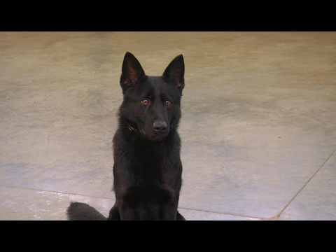 Training Session W/Panzer V Prufenpuden 18 Mo's Obedience Protection Trained Dog For Sale
