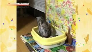 Японский кот и лоток\Japanese cat and wc