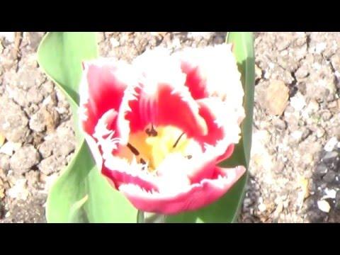 Тюльпаны в моем саду - Часть 4:  Канаста, Киун оф Найт, Блек Джевел, Оранж Принцесс