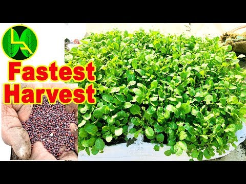 Fastest harvest Growing Mustard Green - easiest way to grow