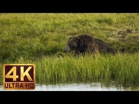 4K wildlife video from Yellowstone National Park unique footage of BEAR's life at Yellowstone 2