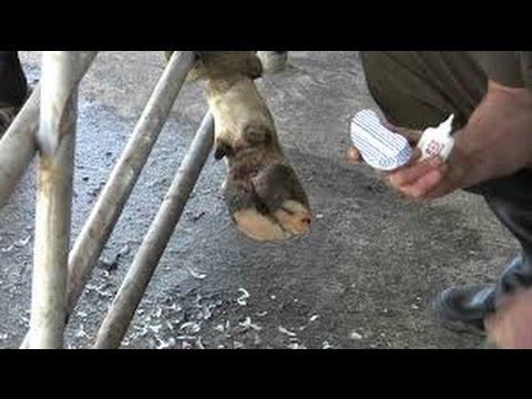 Como Solucionar las Cojeras en el Ganado (Anatomía de la Pezuña ...