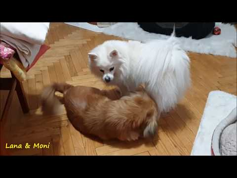 German Spitz (Klein) Meets Pekingese For The First Time!