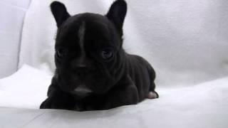 フレンチブルドッグの子犬.