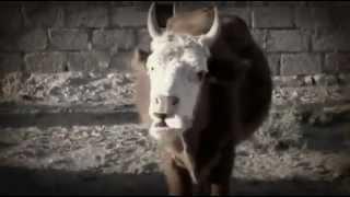The Nonesense Talking Cow