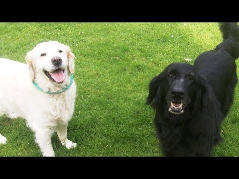 Flat Coat Retriever Tasha & Golden Oldie Millie mooching.