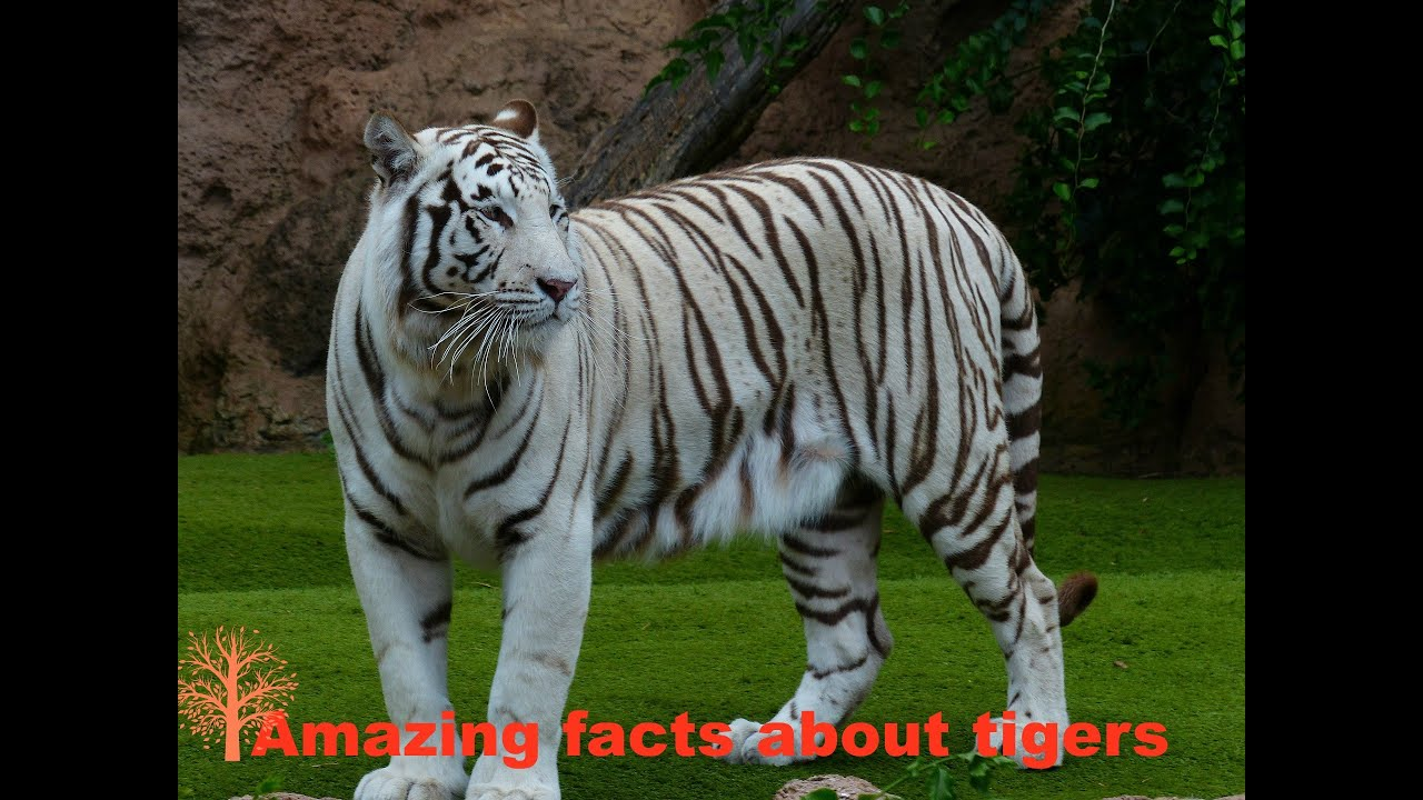Tiger Facts: Tiger Facts for Kids and Adults Alike - YouTube