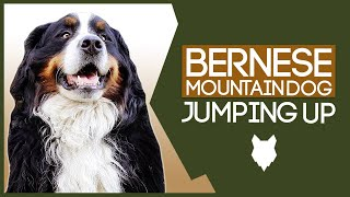 Stop Your BERNESE MOUNTAIN DOG Jumping Up