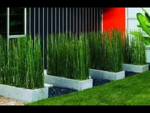 Inilah Rahasia 10 Cara Merawat Tanaman Bambu Air Supaya Tumbuh Cantik Youtube