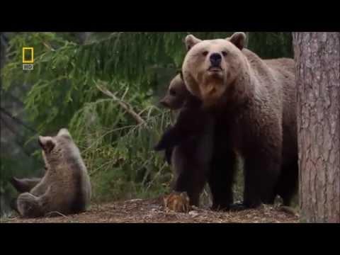 Как ходит медведь