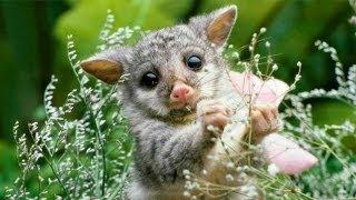 Вокруг света. Выпуск #4. Животные Австралии.