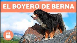 BOYERO DE BERNA - Características, carácter y cuidados