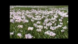 Portugal - Papaver somniferum, papoila do ópio, Opium poppy, Opium (Schlafmohn)