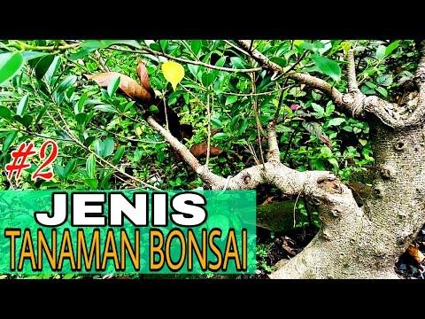 Jenis - jenis tanaman bonsai #Part 2