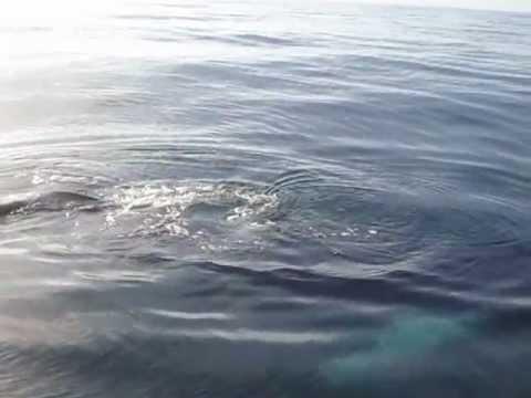 Whale Inshore Off Atlantic Beach NC 11 20 2011.MP4