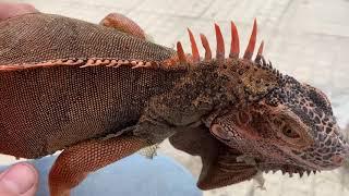 Iguana House . Hướng Dẫn Cắt Tỉa Gai Cho Iguana ( Make The iguanas more beautiful )