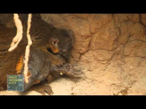 Collared Lemur Baby at the Wildlife Conservation Society's Bronx Zoo