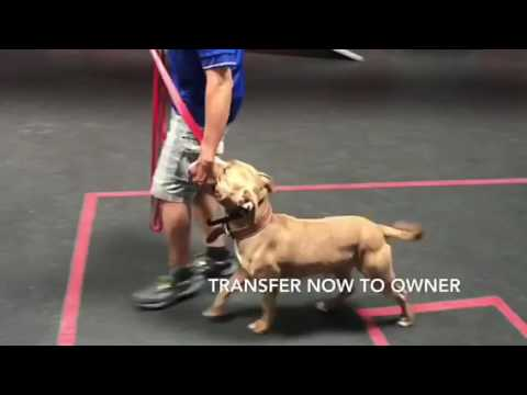 Attentive Pitbull training.  Before/After video