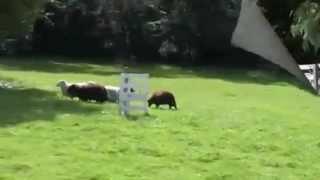 Австралийский келпи учится пасти овец(, 2012-06-26T12:48:13.000Z)