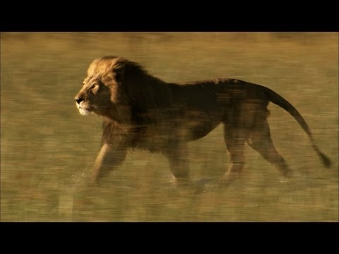 Lost Lion Reunites with His Brother