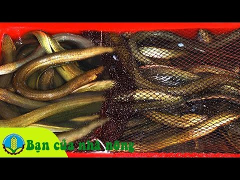 Mô hình, kỹ thuật nuôi lươn không bùn đạt hiệu quả kinh tế cao