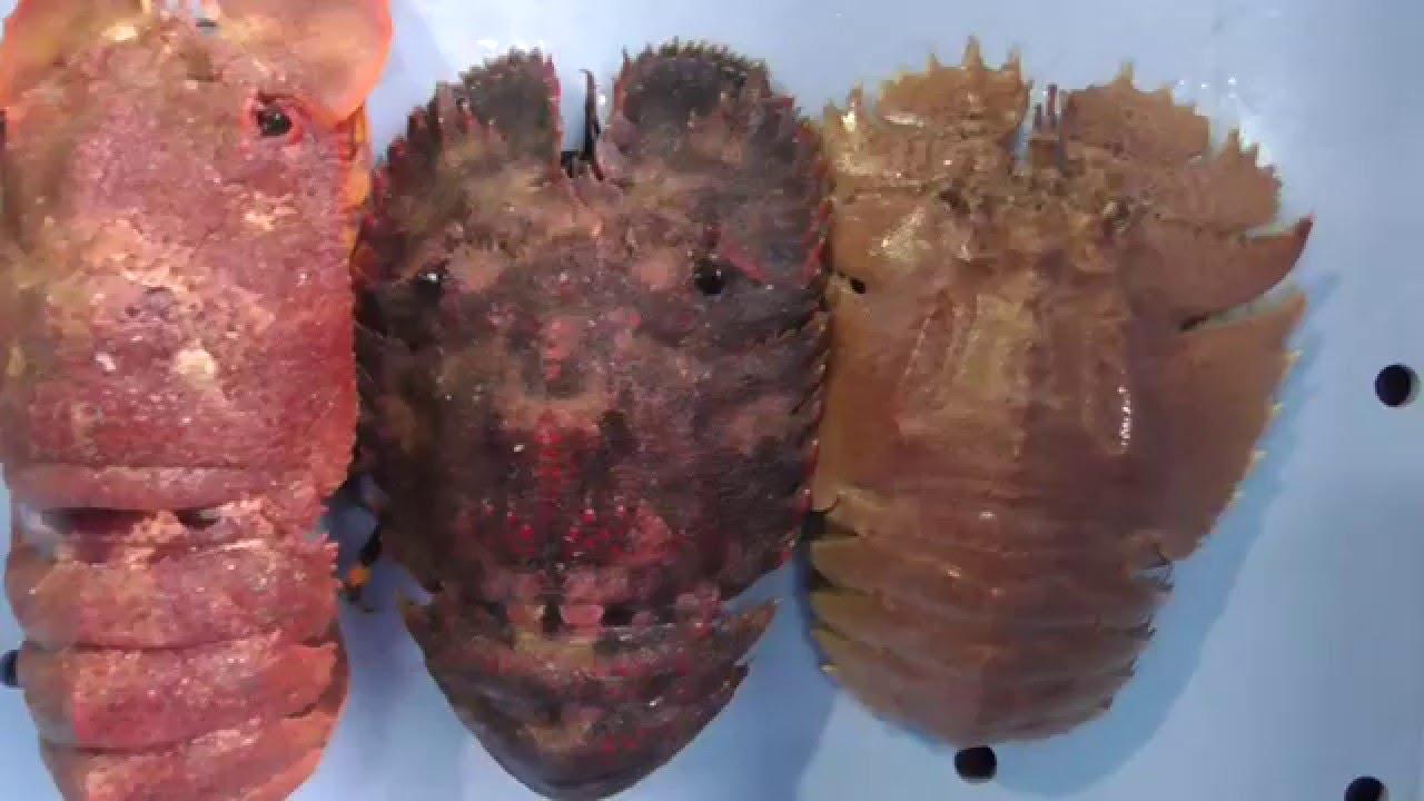 左からセミエビ、ゾウリエビ、ウチワエビ - YouTube