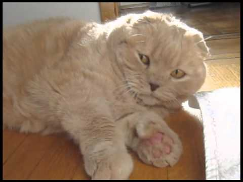 Scottish Fold kitten - cutest cat breed! Pet kitty chasing catnip ball, fat cats cute