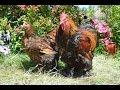 Взрослое поголовье кур 2015 года в хозяйстве Гуковские куры. Породы: Орпингтон, Кохинхин, Брама.
