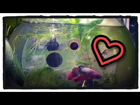 Keeping Betta And Red Cherry Shrimp Together