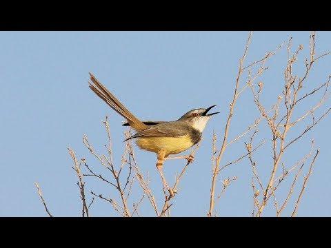 Download Lagu burung ciblek - suara pikat burung ciblek untuk memanggil ciblek liar
