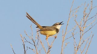 Download Video burung ciblek - suara pikat burung ciblek untuk memanggil ciblek liar MP3 3GP MP4