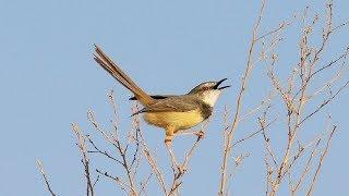 burung ciblek - suara pikat burung ciblek untuk memanggil ciblek liar