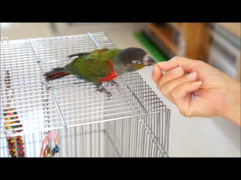 Crimson Bellied Conure – Alpha & Beta Tamed in a Week