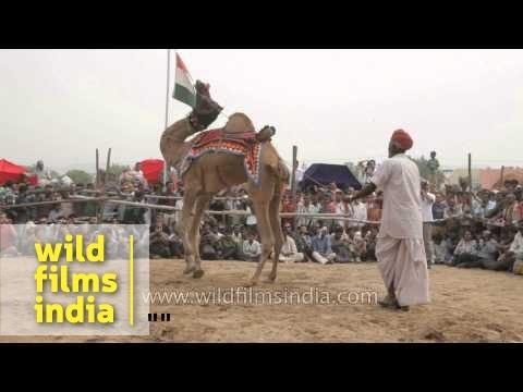 Camel dance during Pushkar mela, Rajasthan