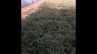 видео Выращивание майорана из семян и его полезные свойства, применение