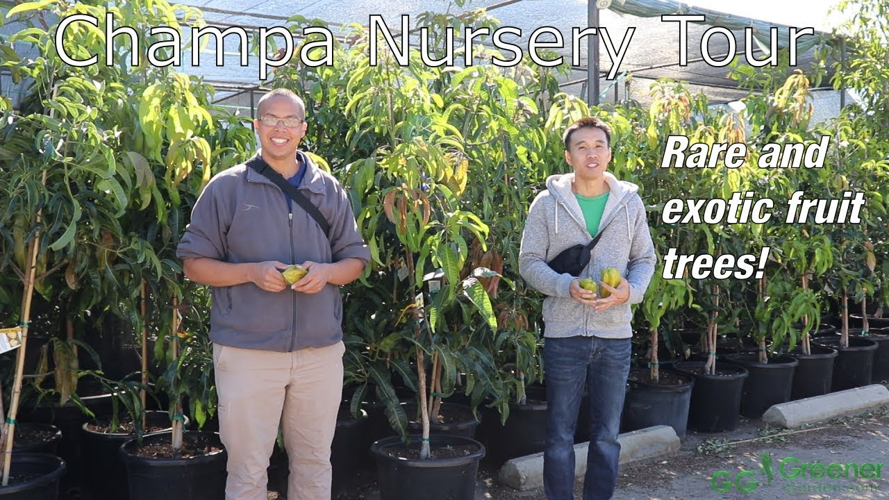 Rare and Unusual Tropical Fruit Trees - Champa Nursery of El Monte
