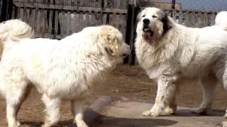 Порода собак. Пиренейская горная собака.Королевская собака?