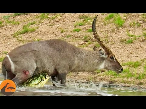 Waterbuck Escapes The Jaws Of A Crocodile