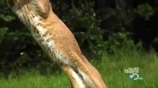 Каракал - крупная кошка с гибкими ушами, поворачивает на 180 град.