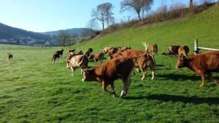 """""""....born to be wild""""  ☺☺ Die glücklichen Kühe der Fam. Pfister im Frühling"""