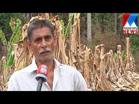 Scorching heat ruins farming in Kannur  | Manorama News