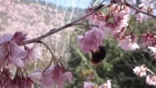 Travel in Taiwan 170218: Wuling Farm (武陵農場) cherry blossom bee (b)