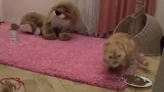 Экзотическая короткошерстная кошка (взрослая) окрас красный d