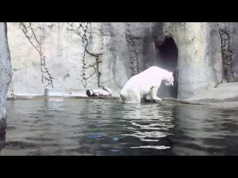 Dive into Polar Bear Week