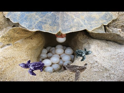 BABY SEA TURTLE HATCHING | Sea Turtle Nesting Grounds