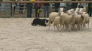 Au Sommet de l'élevage de Clermont-Ferrand, le mouton aussi fait son show