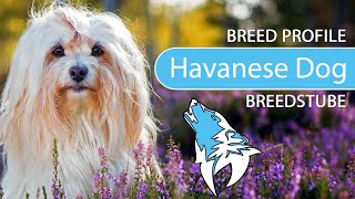 Havanese Breed, Temperament & Training