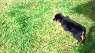 Rottweiler Puppy 12 Weeks Old
