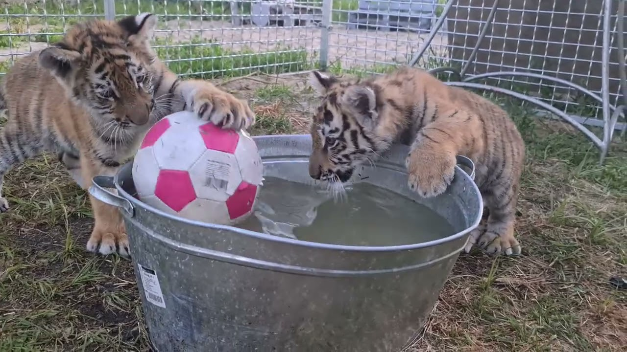 Тигрячье Бешенство/Cute tiger cubs fighting